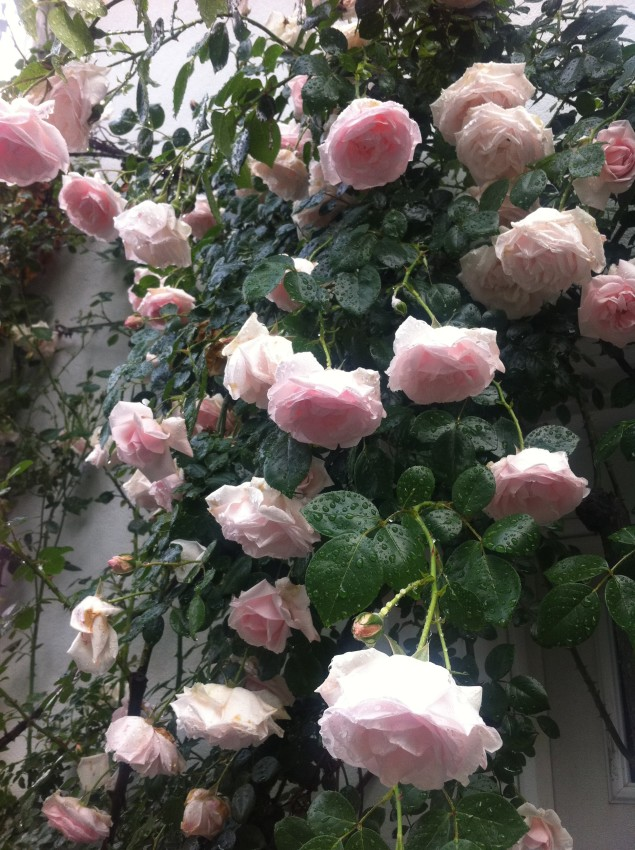 roses on my trellis